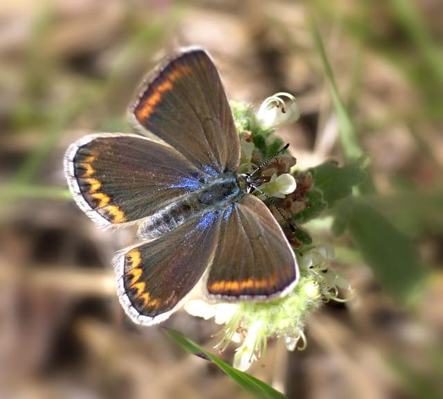 Papillon Azuré de la bugrane