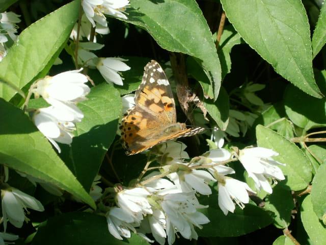 Papillon Belle Dame (Vanessa Cardui)