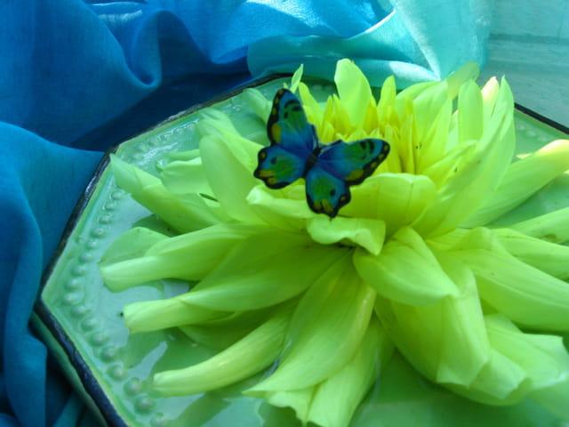 Papillon bleu sur dahlias jaune