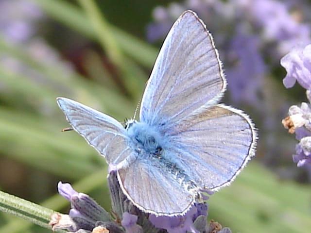 Papillon bleu sur la Lavande