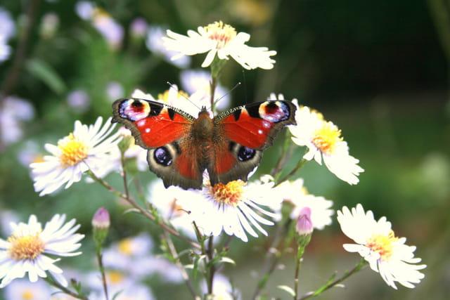 Papillon cocarde et les asters