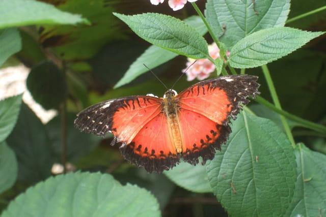 Papillon de Guyane