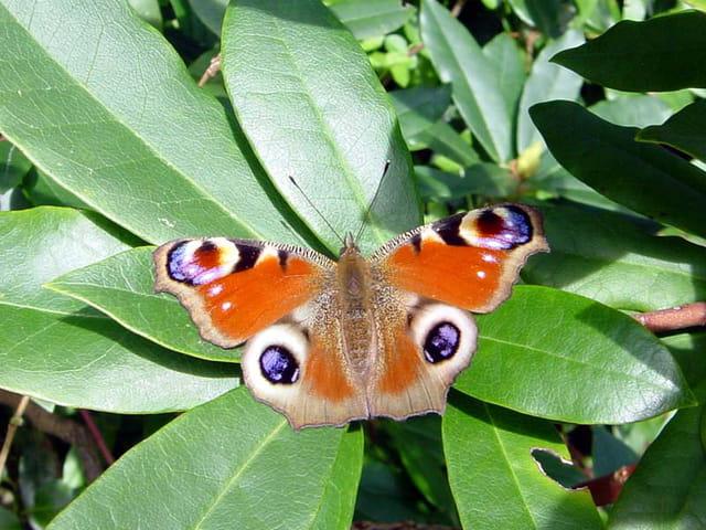 Papillon de mars