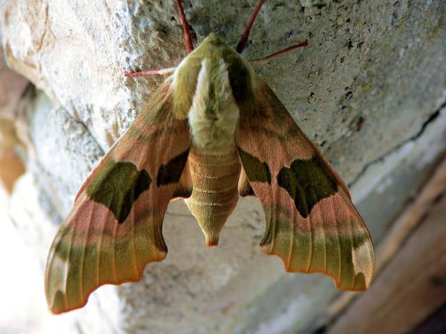 Papillon de nuit par raymond rochette sur l 39 internaute - Signification papillon de nuit ...