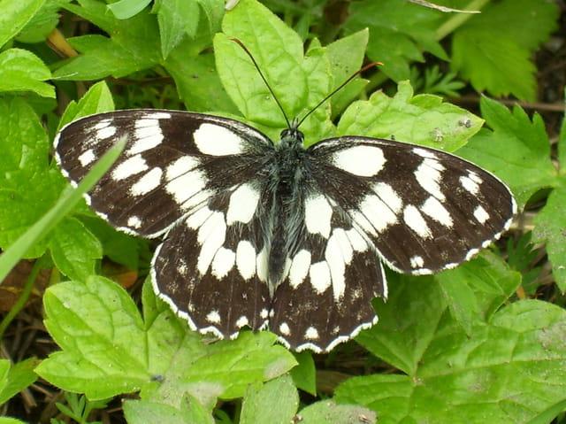 Papillon demi deuil