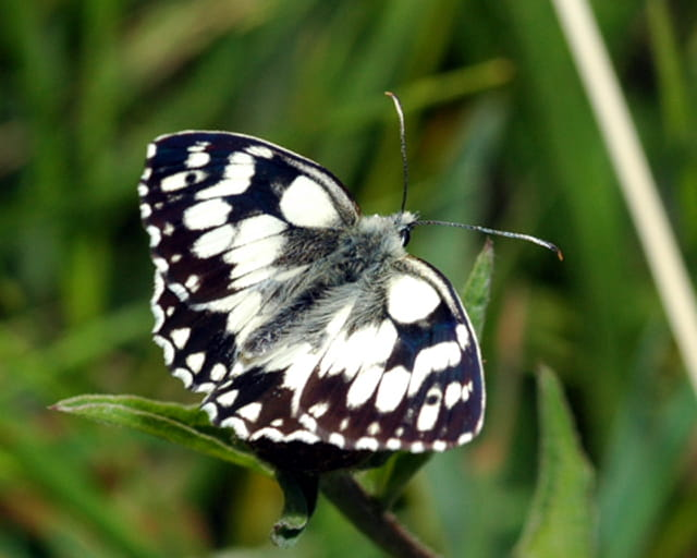 Papillon (demi deuil)