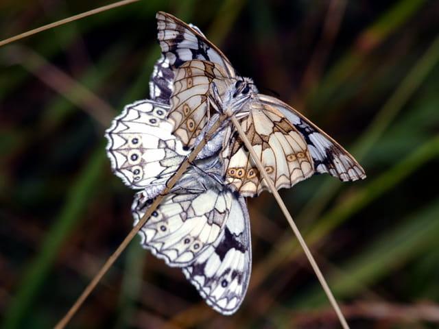 Papillon (demi deuil) couple