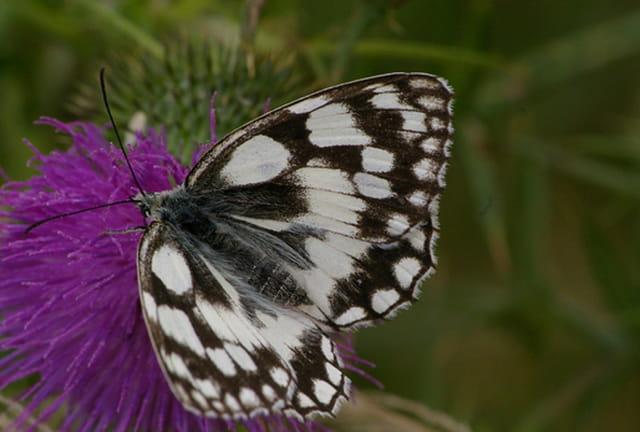 Papillon demi-deuil sur chardon