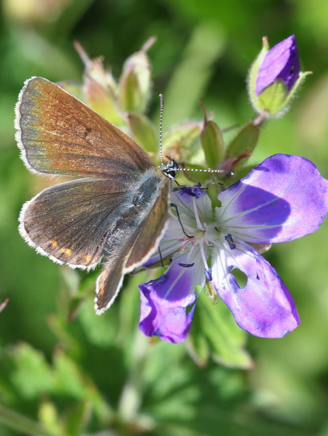 Papillon des Alpes de Suisse