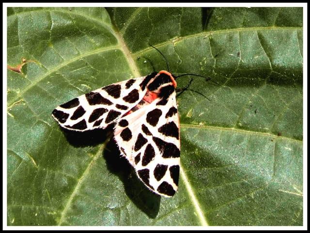 Papillon écaille.