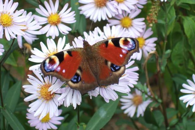 Papillon et asters