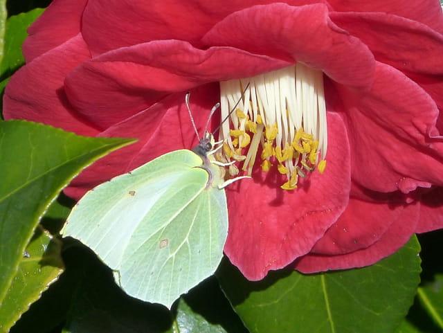Papillon et camélia