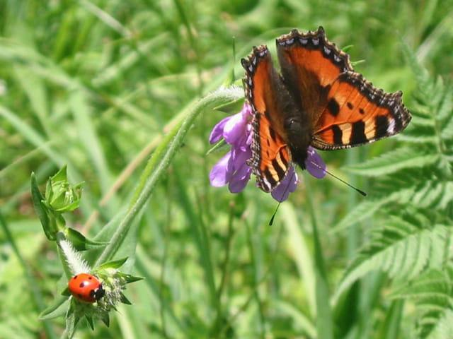 Papillon et coccinelle