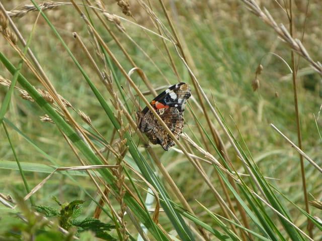 Papillon à tête de souris