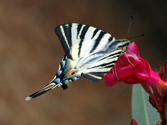 Papillon (flambé)