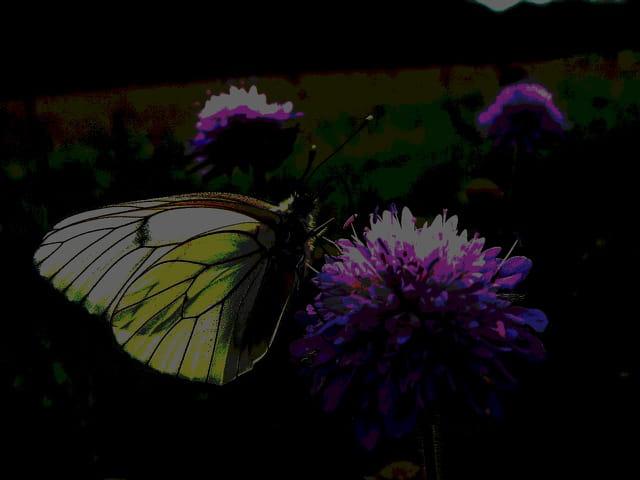 Papillon fluorescent 3