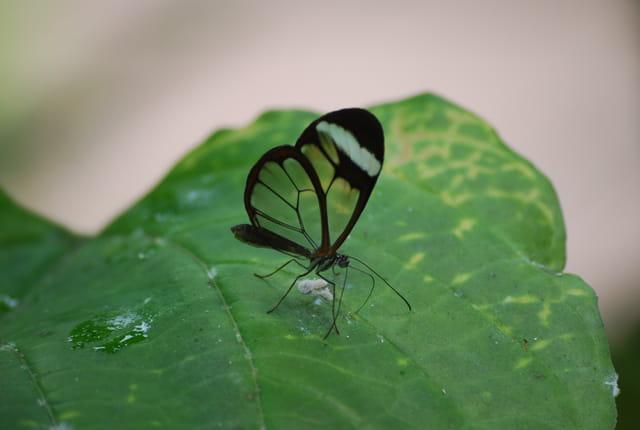 Papillon fragile