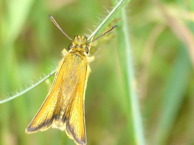 Papillon funambule
