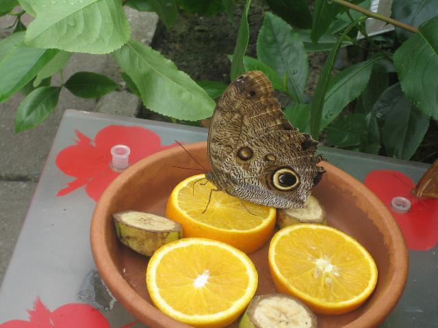 Papillon gourmand
