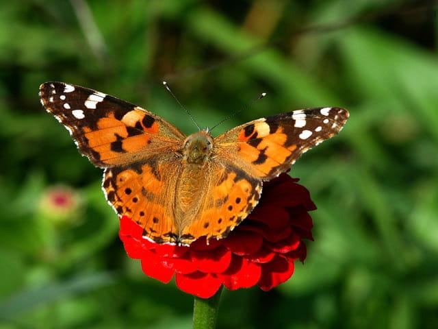 Papillon (la vanesse des chardons)