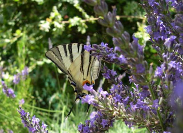 Papillon & lavande 1