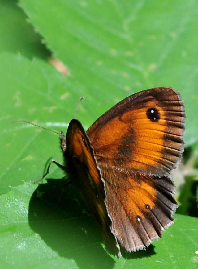 Papillon le petit Sylvain