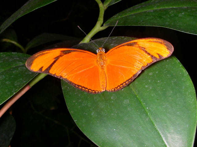 Papillon lyonnais