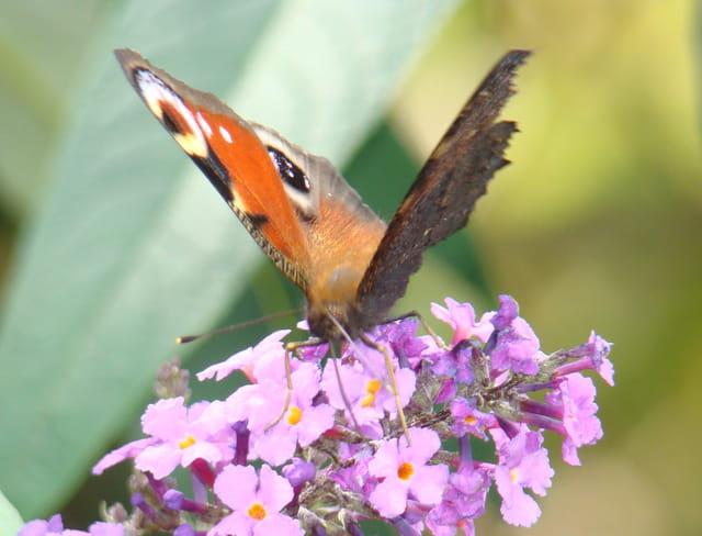 Papillon mon jardin