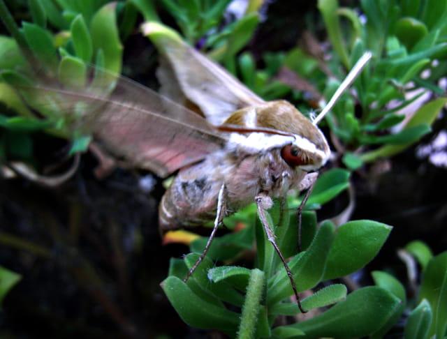 Papillon nocturne : sphinx