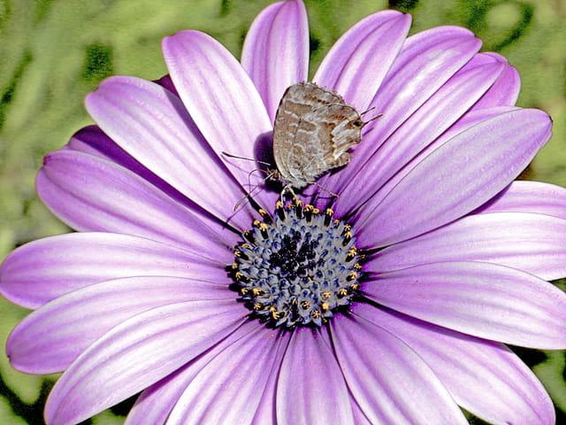 Papillon porte-queue