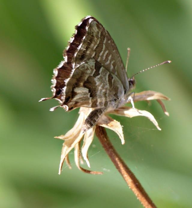 Papillon Porte-queues