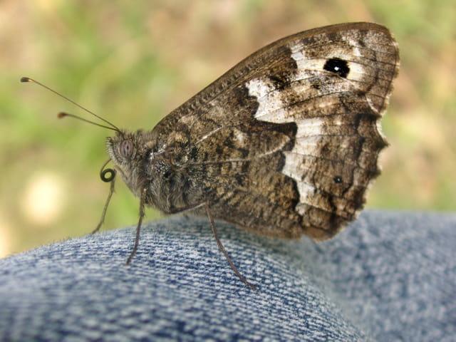Papillon Silène sur mon jean