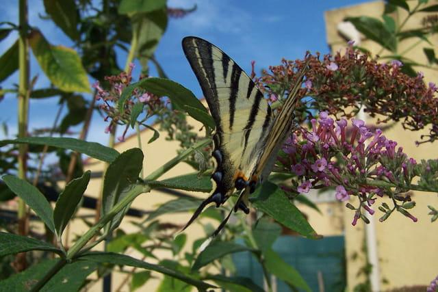 Papillon sur arbre à papillons
