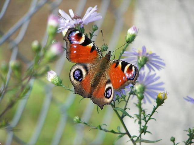 Papillon sur aster