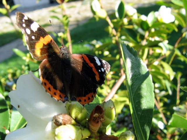 Papillon sur camélia