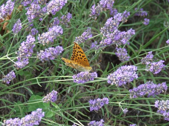 Papillon sur de lavande