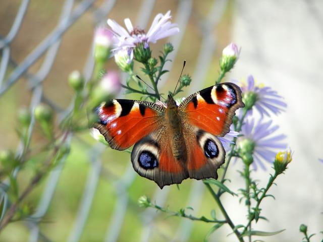 Papillon sur vendangeuse