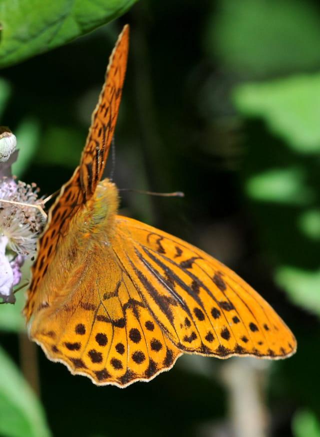 Papillon tabac d'espagne
