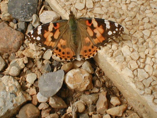 Papillon Vulcain