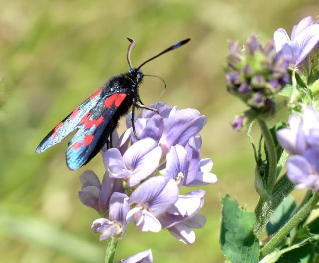 Papillon  zygène