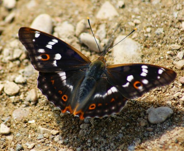 Papilon apatura iris