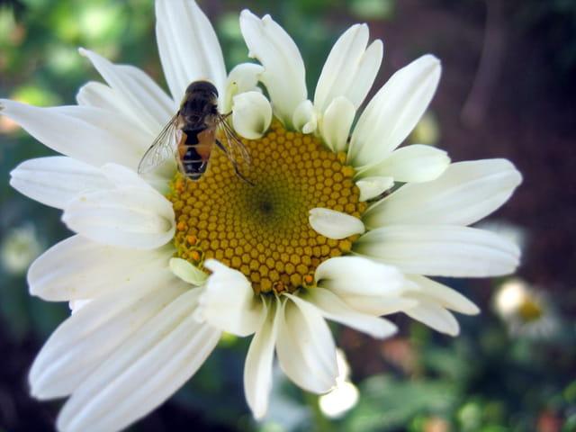 Paquerette et abeille