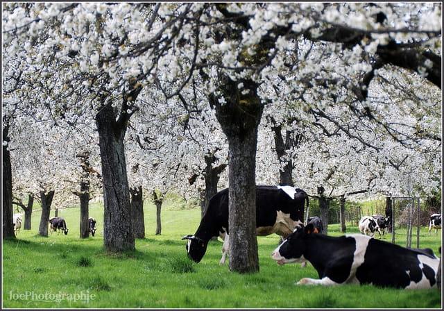 Paradis pour Vaches