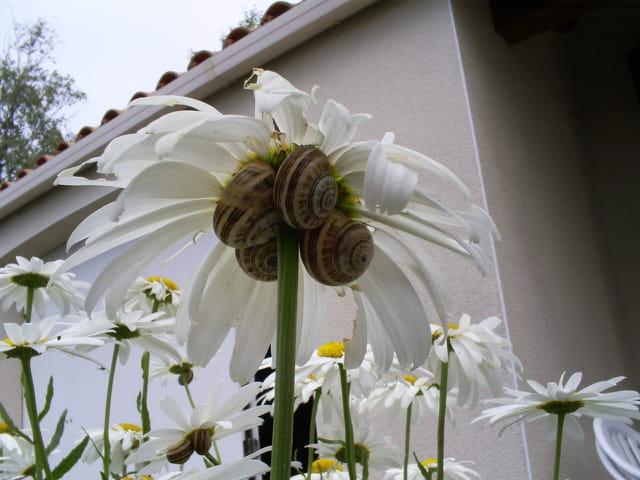 Parasol à escargots