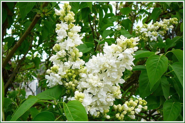 Parfum printanier du lilas blanc
