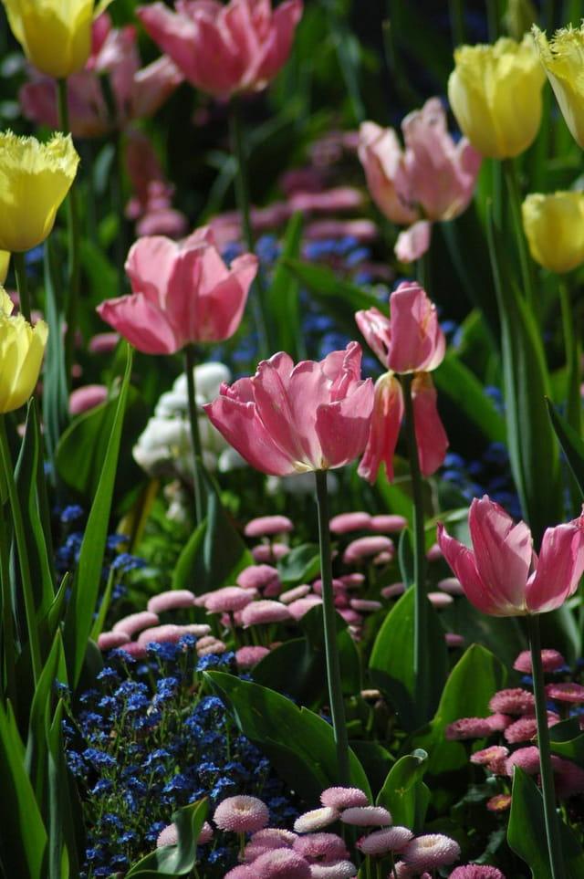 Parterre de Tulipes