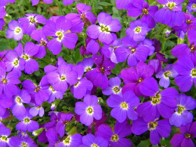 Parterre violet
