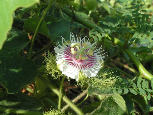 Passiflora foetida - réunion -