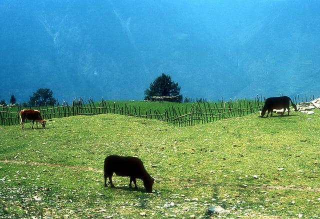 Pâturage au Langtang