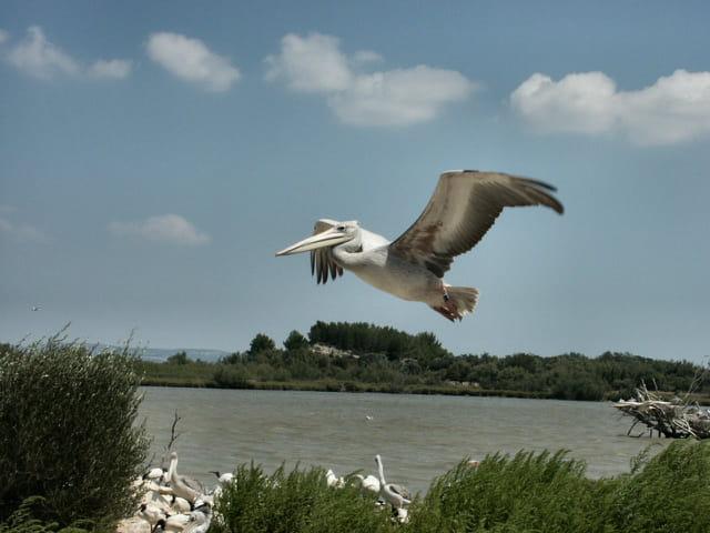Pélican à l'atterrissage